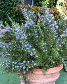 82 Best Zone 10-12 Plants images in 2016 | Plants, Monrovia