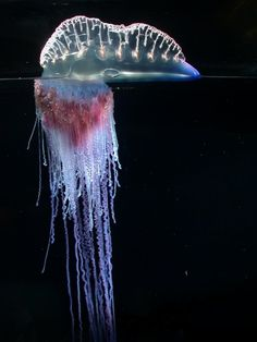not single animal. Portuguese Man O war is colony of animals called a siphonophore. resembles a jellyfish, the PMOW is comprised of a colony of 4 types of separate polyps, called zooid. they are individual animals so specialized that they cant live without each other. gas filled float at surface of the water made of individual polyp called pneumatophore The feeding tentacles gastrozooids, the tentacles called dactylozooids, and the reproductive part called gonozooids. tentacles can grow…