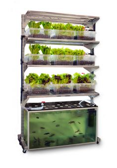in-home aquaponics unit grows one meal a day: a portion of fish and a side salad. water, aquapon, fish, plants, side salads, homes, garden, tanks, meal