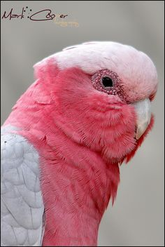 Dont Be A Galah by Mark-Cooper-Photography ( Away chasing the sun ), via Flickr Pink Cockatoo, Australian Birds, Funny Birds, Cockatiel, Watercolor Bird, Beetles, Parrots, Beautiful Birds, Pretty In Pink