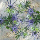 Eryngium Flowers... I think these are like thistles. 100 stems for $140