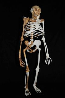 En una interpretación más prudente, se basan en la observación de que la mandíbula inferior de Homo rudolfensis descubierta por Friedemann Schrenk, de unos 2,5 m.a., es el fósil más antiguo adscrito al género Homo, claramente más antiguo que los fósiles de Australopithecus sediba. Afirman asimismo que las características de los nuevos fósiles tienen relativamente poco en común con Homo y siguen, por tanto, apuntando a Australopithecus afarensis como su ancestro más probable.