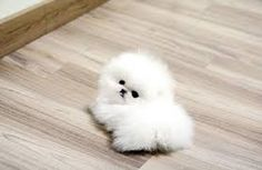 teacup pomeranian puppies | Cute Puppies