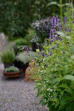 Anisisopen Agastache 'Blue Fortune' är en ljuvlig växt. Är lite trög i starten på våren. Men belönar med kraftig tillväxt och blomning från juli och till frosten kommer. Den är också mycket hållbar att plocka in som snittblomma.  Kryddträdgården | Lantliv.com