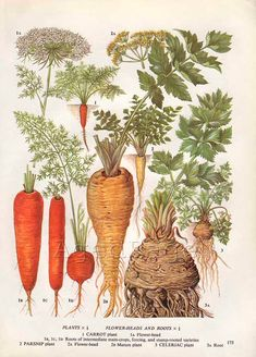 Vintage Vegetable Botanical Print Food Plant Chart Art