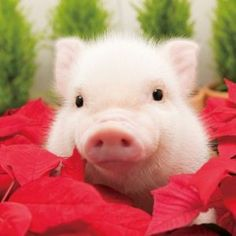Love this: Love Cute Animals will not allow his name. Weshare cute animals everyday and Love Cute Animals. Cute Baby Pigs, Baby Piglets, Cute Piglets, Cute Babies, Happy Animals, Cute Funny Animals, Cute Baby Animals, Animals And Pets, Farm Animals