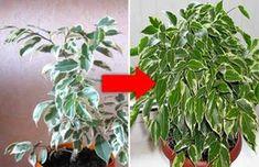 Как оживить самое хилое комнатное растение — В РИТМІ ЖИТТЯ