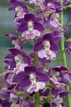 Newly-bloomed Spring Calanthe, 2014 (Ozikos Selection)