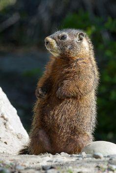 ˚Standing Marmot - Wyoming