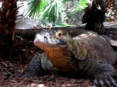 San Diego Zoo: A komodo dragon, displayed in the zoo's reptile house.