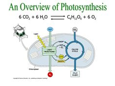 An Overview of Photosynthesis 6 CO 2 + 6 H 2 O C 6 H 12 O 6 + 6 O 2