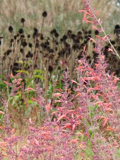 Lurie Garden - the vivid colour of the Agastache with a backdrop of Echinacea seed heads.