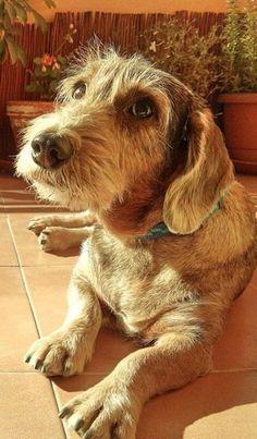 Wirehaired Dachshund puppy dog #Dachshund