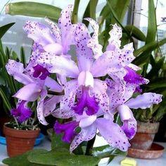 Purple Polka Dot Orchid