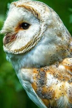 Barn Owl ❤ Beautiful Owl, Animals Beautiful, Cute Animals, Owl Pictures, Owl Photos, Owl Eyes, Wise Owl, Tier Fotos, Snowy Owl