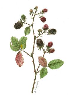ciuccio51 / Blackberries, via Flickr.