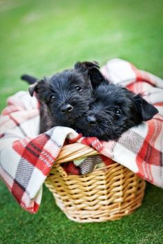 Cute Scottish Terrier Puppies