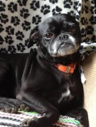 Squeak is an adoptable Boston Terrier Dog in Thompson, CT. Hi! I'm Squeak! Im a 5 year old boy who loves to play and run around. I'm good on a leash, crate trained, house trained and I know sit and st...