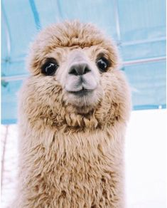 What people don't realize is Alpacas are SO much better then Llamas Cute Creatures, Beautiful Creatures, Animals Beautiful, Majestic Animals, Cute Puppies, Cute Dogs, Cute Babies, Cute Little Animals, Cute Funny Animals