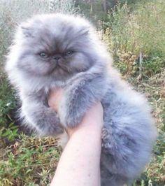 Foto retirada de 18 gatos tão peludos que dá vontade de abraçá-los a qualquer custo (18 fotos)