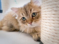 between interest and anxiousness (at a cat cafe, Kyoto) by Marser, via Flickr