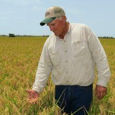 How is rice grown and harvested? Texas rice farmer Curt Mowery explains on #TexasTableTop.