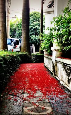 A carpet of red flowers. It must be Autumn in Hanoi