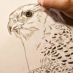 Gyrfalcon sepia watercolor on board Rebecca Latham - getting through a bit of deadline tension lately.. treating myself to starting several new falcon studies of the Midwest Peregrine Society's birds. (My first Gyr pieces!) #wildlife #watercolor #art #animal #painting #miniature #artist #miniatureart #realism #animallovers #falconry #falcon #falcons #gyr #gyrfalcon #birdsofprey #raptor #birds #birdlovers #workinprogress #naturalism