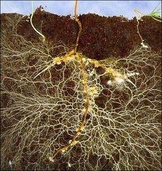 mycelium in soil - Google Search
