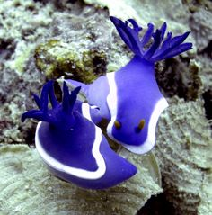 Mating nudibranchs   ;)