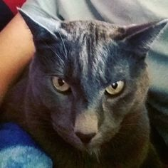 My Babe Greyzy 😍 #kartäuserkatze #kartäuser #cats #cat #lovemycat #katzenliebe #alexandrakatharina