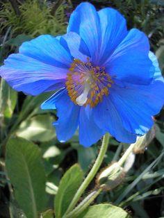 Heavenly blue of Meconopsis. Rare Flowers, Amazing Flowers, Wild Flowers, Dark Blue Flowers, Flower Mural, Blue Poppy, Flower Names, Heuchera, Flowering Trees