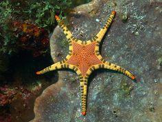 Sea Star Iconaster Longimanus - by Divaholic