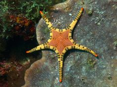 Sea Star Iconaster Longimanus - by Divaholic