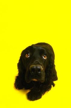 Itching in your cocker spaniel means ear-scratching, foot-biting and muzzle-rubbing that annoy both you and your dog. Many irritants may cause her itching, but you can ease her discomfort and keep her happy.