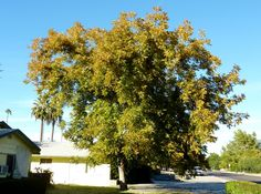 pecan tree - Google Search