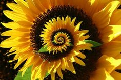 Sunflower spiral.  WOW