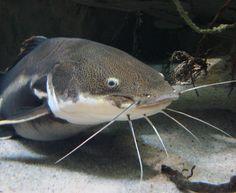 Wels Catfish