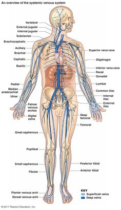 Major Veins - Another! Human Body Anatomy, Human Anatomy And Physiology, Muscle Anatomy, Medical Coding, Medical Science, Blood Vessels Anatomy, Vascular Ultrasound, Interventional Radiology, Nursing School Notes