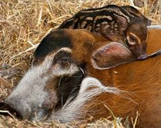 Red River Hog mother and piglet.