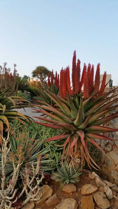 Aloe candelabrum in flower July :)