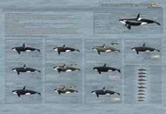 Killer Whale Ecotypes and Forms - 2013 UPDATED- by ~AngelMC18 on deviantART