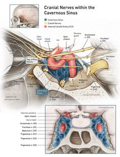 Cranial nerves within the cavernous sinus Anatomy Head, Nerve Anatomy, Facial Anatomy, Brain Anatomy, Human Body Anatomy, Human Anatomy And Physiology, Medical Anatomy, Muscle Anatomy, Medical Facts