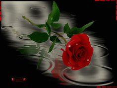 Rosas y bellas | Imágenes bellas