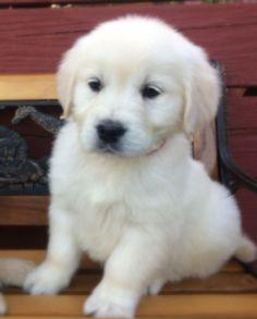 Current Litters | Cielos Golden Retrievers Golden Retriever Collie Mix, Retriever Puppy, Puppies, Golden Retrievers, Dogs, Animals, Animales, Animaux, Retriever Puppies