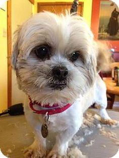Pictures of Sheldon a Shih Tzu for adoption in Chesterfield, MO who needs a loving home.