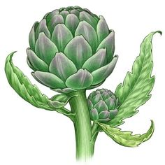 All About Growing Artichokes. Growing artichokes as annuals that bear edible buds their first season requires an early start, but properly handled artichoke plants will prosper in a wide range of climates. This growing guide includes descriptions of the t Backyard Garden Landscape, Small Backyard Gardens, Diy Garden, Edible Garden, Shade Garden, Garden Ideas, Edible Plants, Spring Garden, Organic Vegetables
