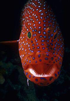 Jewel Grouper, Cephalopholis Miniata by Jeff Rotman Underwater Creatures, Underwater Life, Ocean Creatures, Colorful Fish, Tropical Fish, Beautiful Fish, Belleza Natural, Fauna, Underwater Photography