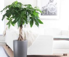 Feng Shui: What's a Money Tree?: The feng shui money plant is a feng shui symbol of vibrant and well-rooted energy; a growing energy that you would like to see reflected in your own money.