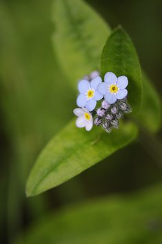 Forget Me Not I always used to call them cartoon flowers when I was a kid - another favourite from Mom and Dad's yard